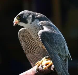 Peregrine_Falcon_(Falco_peregrinus)_(13)